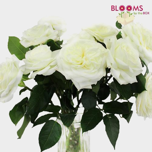 Garden Rose Alabaster White