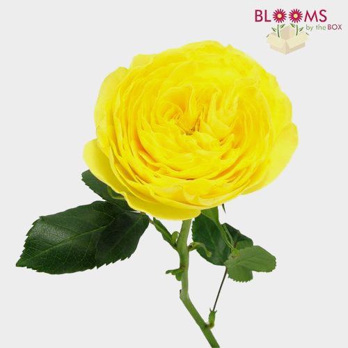 Garden Rose Lemon Pompom Yellow