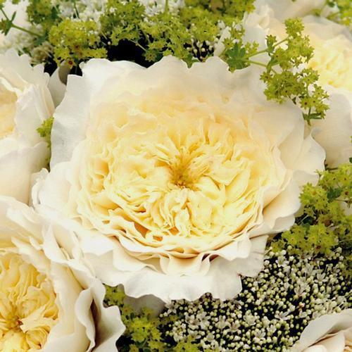 Garden Rose Patience White