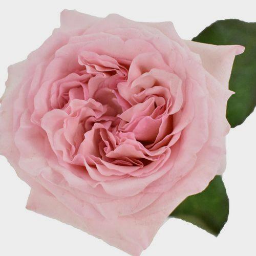 Garden Rose O'Hara Light Pink