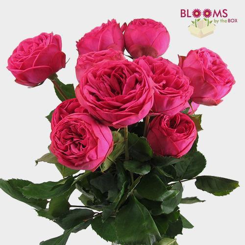 Garden Rose Piano Pink