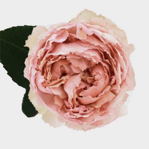 Garden Rose Juliet Peach