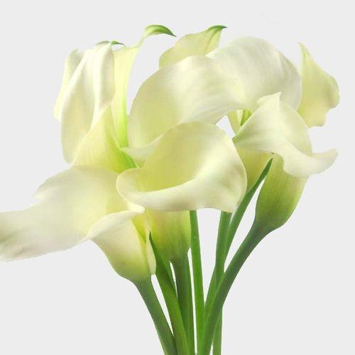 Calla Lily Mini White Flower Bulk