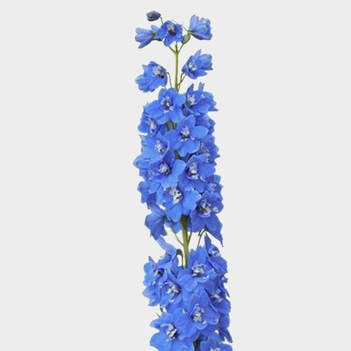 Hybrid Delphinium Light Blue Flower