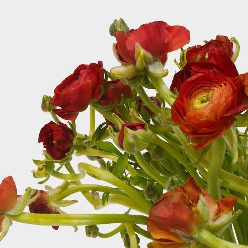 Burgundy Ranunculus Flower