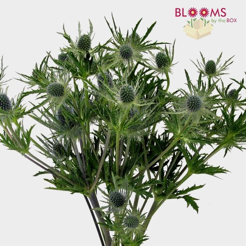 Thistle Eryngium Blue Flower