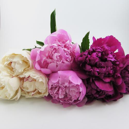 Peony ASSORTED Colors Pack (60 Stems)