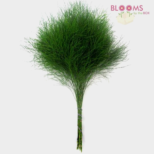Tree Fern Greenery