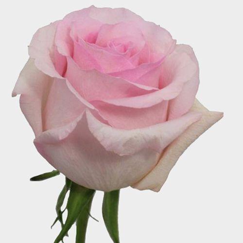 Rose Nena Light Pink 50cm