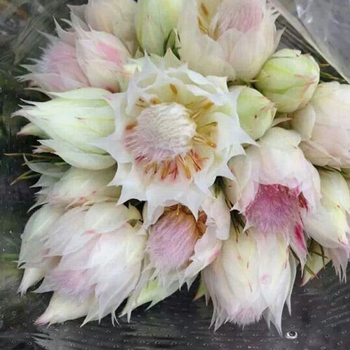 Protea Blushing Bride Flowers