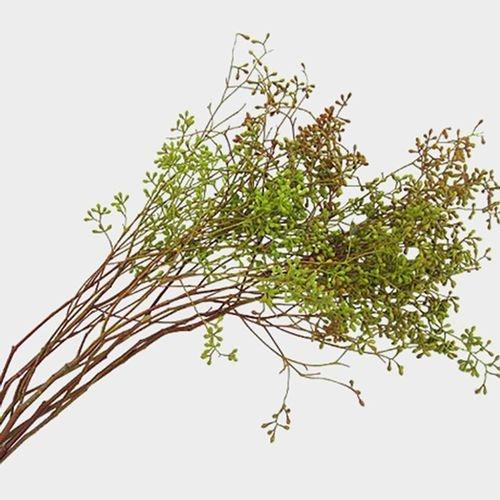 Eucalyptus Naked Seeded Greenery
