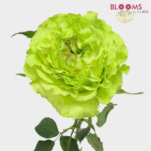 Rose Super Green 40cm