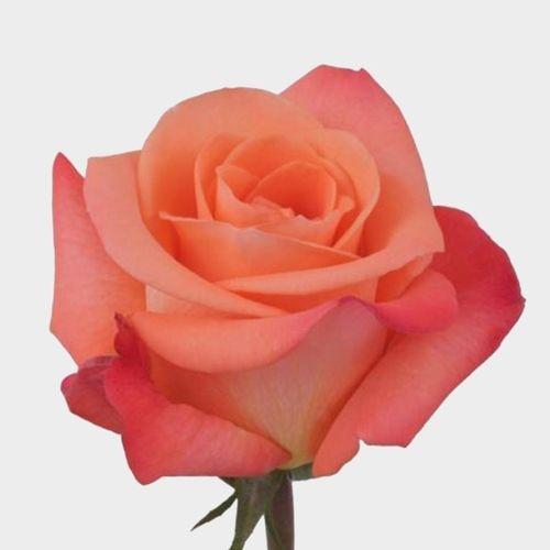 Rose Tropical Amazon 40 Cm