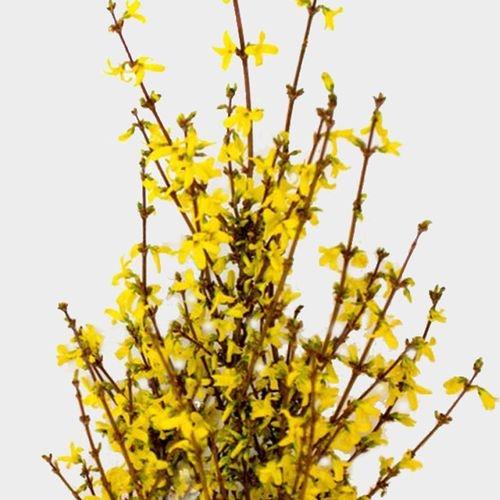 Forsythia Flowering Branches Bulk