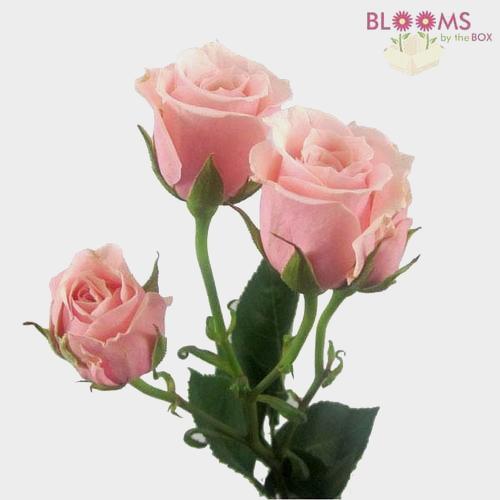 Spray Rose Light Pink