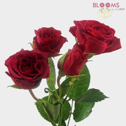 Spray Rose Red