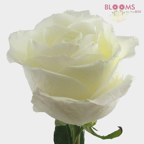 Rose Tibet White 40cm