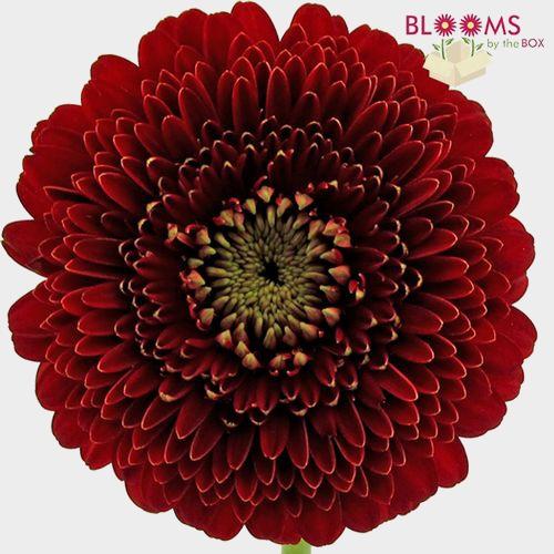 Gerpom Burgundy Flower