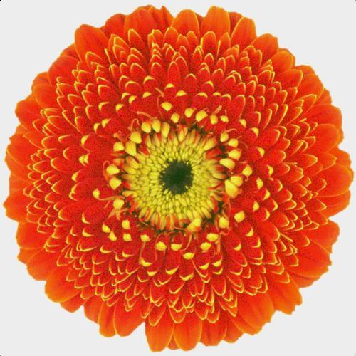 Gerpom Orange Flower