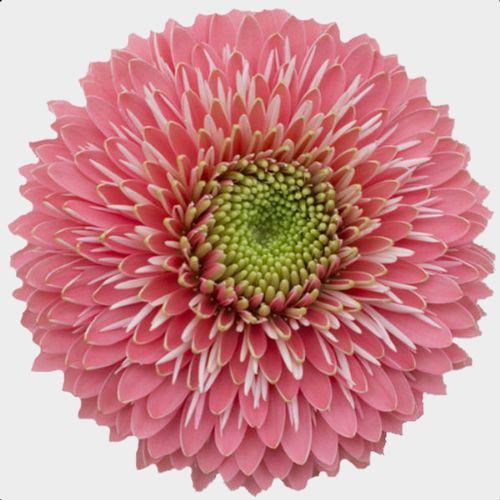 Gerpom Pink Flower