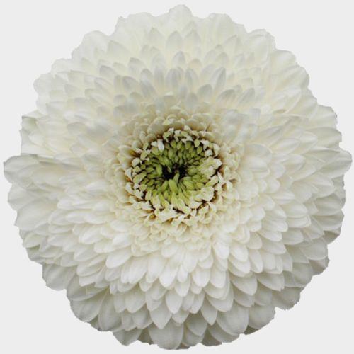 Gerpom White Flower