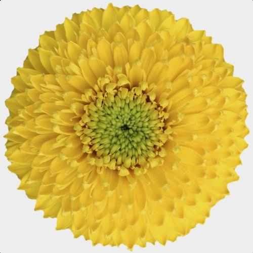 Gerpom Yellow Flower