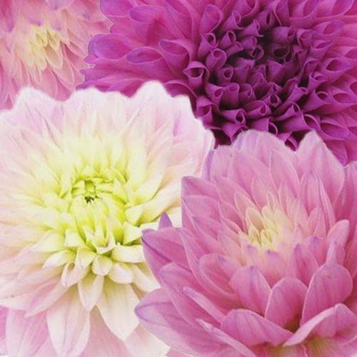 Dahlias 5 Bunch (50 Stems) - Pinks