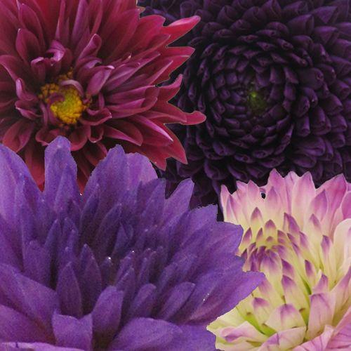 Dahlias 5 Bunch (50 Stems) - Purples