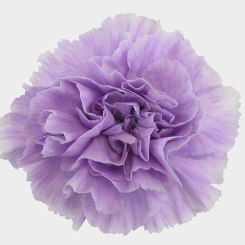 Moonaqua Fancy Light Purple Carnation Flower