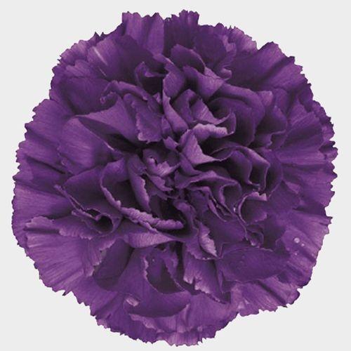 Moonshade Fancy Deep Purple Carnation Flowers