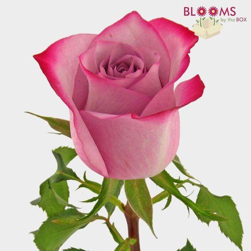 Rose Deep Purple 50cm