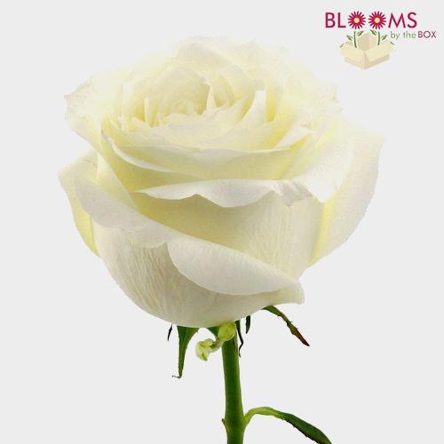 Rose Proud White 50 Cm