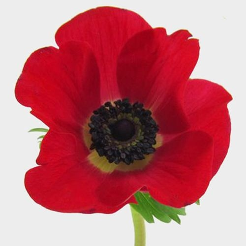 Anemone Red (50 Stems)