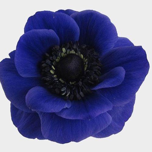 Anemone Blue Flowers (50 Stems)