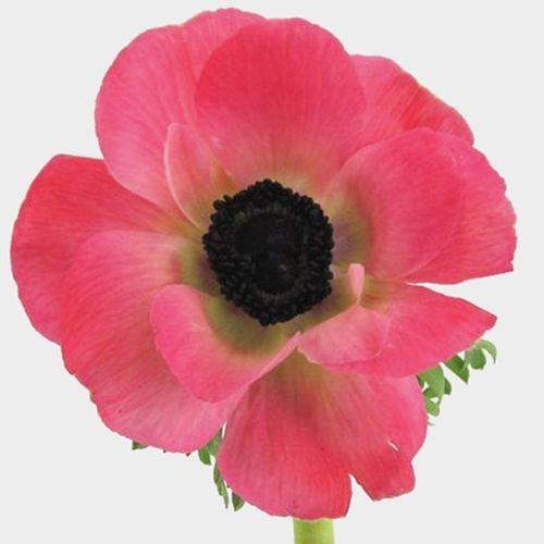 Anemone Pink (50 Stems)