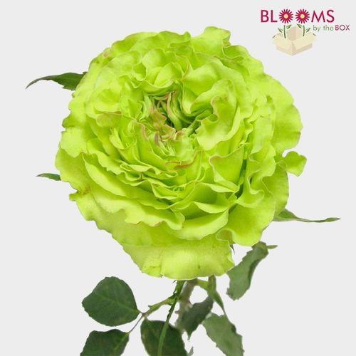 Rose Super Green 40cm