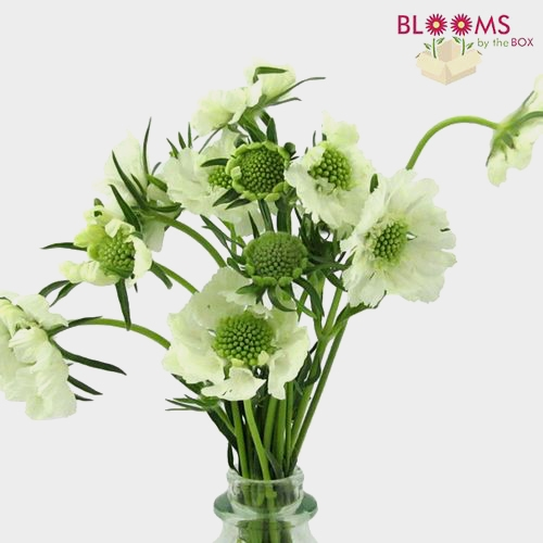 White Scabiosa Flower (10 Bunches)