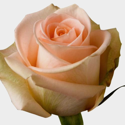 Rose Tiffany  40 Cm