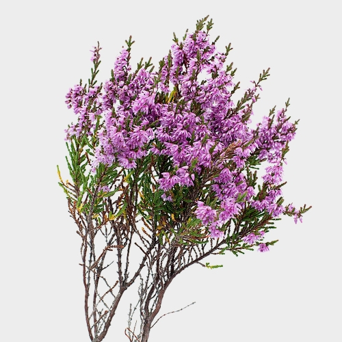 Heather (10 Bunches)