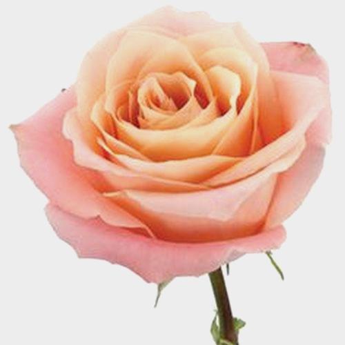 Rose Fado Peach 50cm