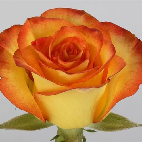 Rose and High Magic 40cm