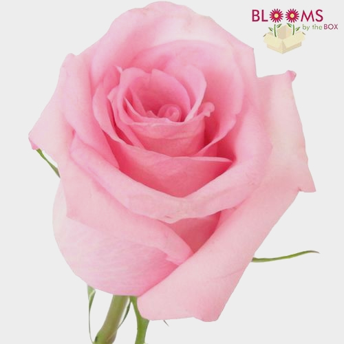 Rose Jessica Pink  40 Cm