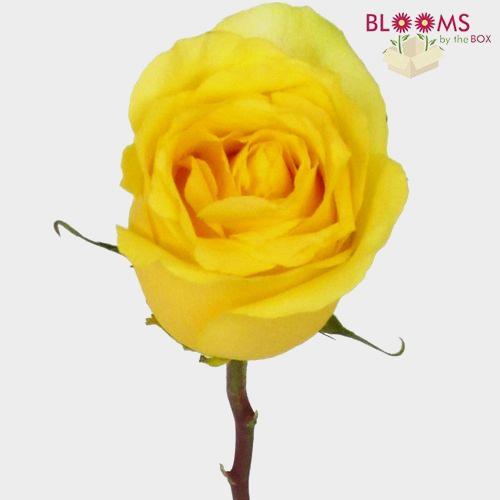 Rose Stardust Yellow 50cm