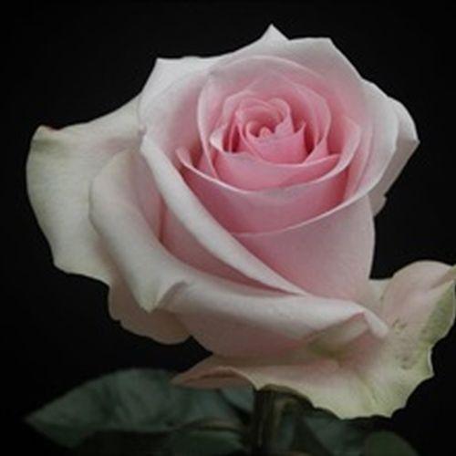 Rose Novia Pink 40cm