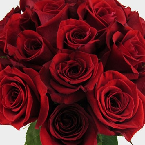 Red Rose Freedom 50cm Bulk