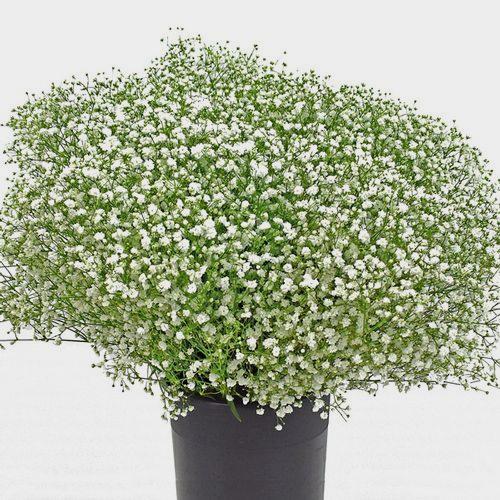 Gypsophila Cosmic Flowers Bulk Pack
