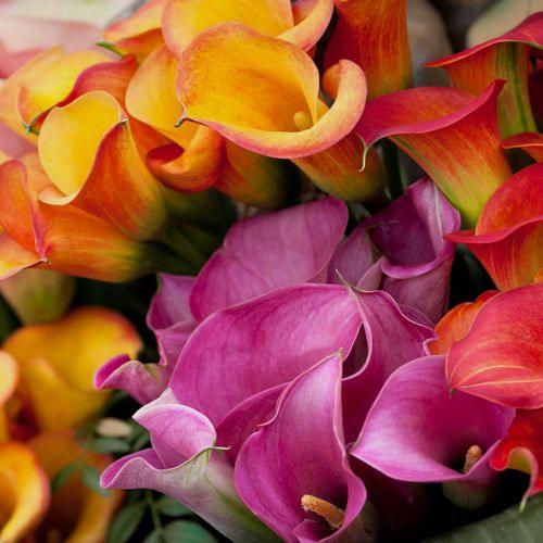 Mini Calla Lily Assorted Colors Bulk