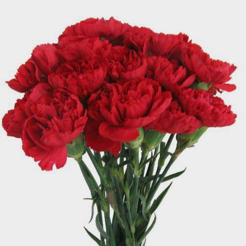 Red Carnation Flowers Fancy Bulk