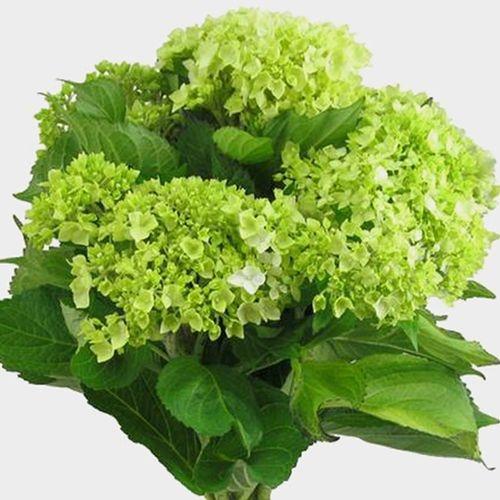 Mini Green Hydrangea Flowers Bulk