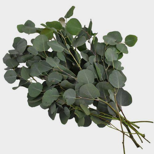 Eucalyptus Silver Dollar Bulk